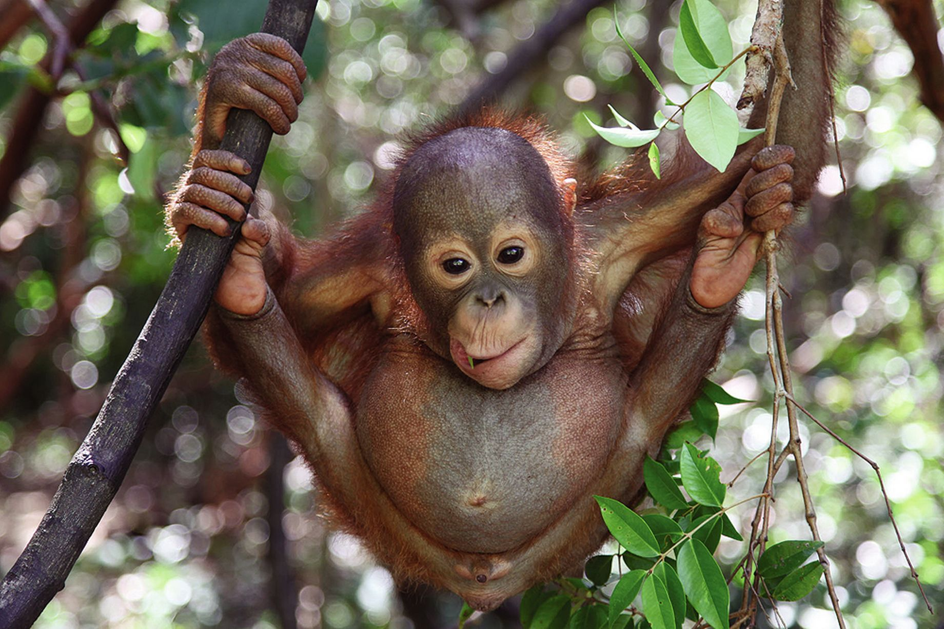 Orangutan-Rescue-Into-The-Wild-National-Geographic.jpg